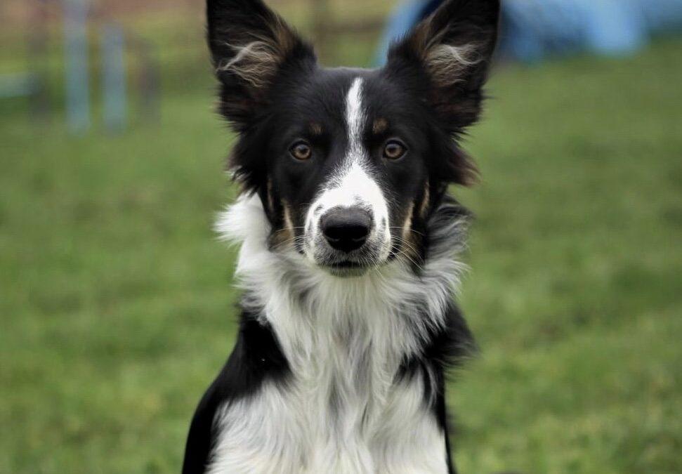 BU – nowa kandydatka na psa ratowniczego OPOLSARU.