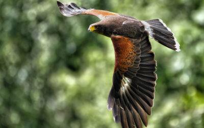 OPOLSAR przy współpracy z PZŁ rozpoczyna szkolenie ptaków drapieżnych, które w niedalekiej przyszłości zastąpią małoefektywne drony.